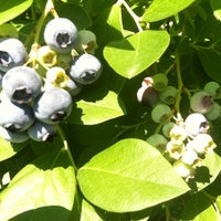 Photo taken at Buchan's Blueberry Hill by Angel P. on 7/21/2012
