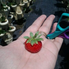 Photo taken at The Girls Strawberry U-pick by Siobhan M. on 3/30/2013