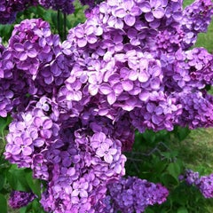 Photo taken at Highland Park Lilacs by Rebecca B. on 5/17/2013