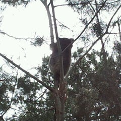 Photo taken at Koala Spotting In The Adelaide Hills by Cybaright on 11/20/2011