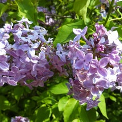 Photo taken at Highland Park Lilacs by MaryEllen C. on 5/18/2014