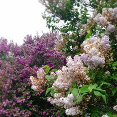 Photo taken at Highland Park Lilacs by Mohammad B. on 5/18/2013