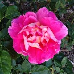 Photo taken at Harvey H Cornell Memorial Rose Garden by Katherine F. on 6/3/2014