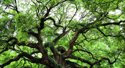 Photo of Historic Site Angel Oak Tree at 3688 Angel Oak Rd, Johns Island, SC 29455, United States