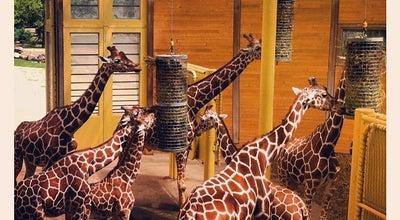 Photo of Arts and Entertainment Giraffen at Diergaarde Blijdorp, Rotterdam 3041 GJ, Netherlands