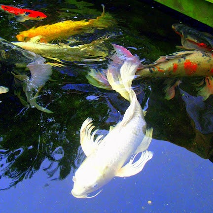 Koi market premium koi sales pond supplies for Fish pond materials