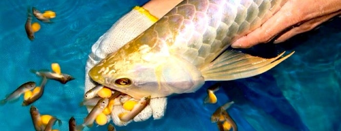 Golden Arowana Breeding Farm is one of My Favorite Places.