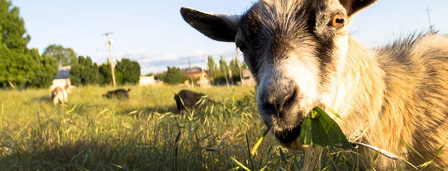 The Belmont Goats is one of PDX To-Do.