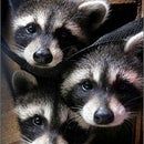 Band of Raccoons