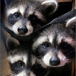 Band of Raccoons