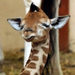 Kiko the Baby Giraffe